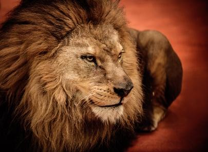 一匹のライオンになれ。